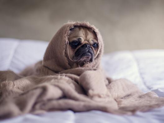 Grumpy pug wrapped in a blanket on a bed